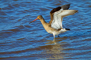 Bar-tailed godwit (Limosa lapponica) stretching wings  on coastal mudflats, Norfolk, England, UK, February.  -  Ernie  Janes