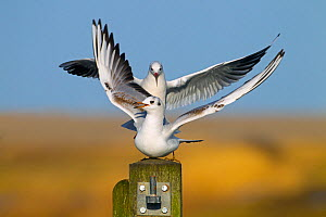 Black headed gull (Larus ridibundus) landing on post where another is already perched. England, January. - Ernie  Janes