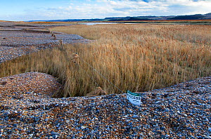 Tidal surge damage at Cley Beach and Nature Reserve, Norfolk, December 2013. - Ernie  Janes