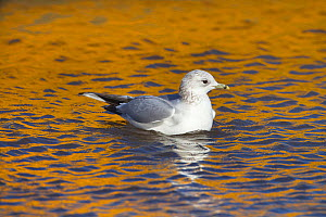 Common gull (Larus canus) and yellow boat reflection, Norfolk, February.  -  Ernie  Janes