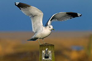 Common gull (Larus canus) landing on fence post, Norfolk, January. - Ernie  Janes