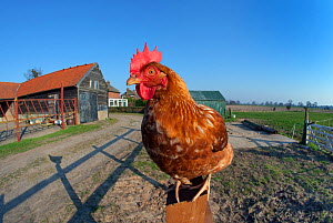 Free-range chicken on Norfolk smallholding, England, April. - Ernie  Janes