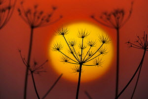 Hedge parsley (Torilis japonica) at sunset, silhouetted against sun, England, January.  -  Ernie  Janes