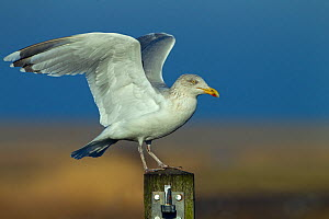 Herring gull (Larus argentatus) on fence post, England, January. - Ernie  Janes