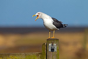 Lesser black-backed gull (Larus fuscus) calling, Norfolk, February. - Ernie  Janes