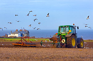 Tractor ploughing near Weybourne with gulls (Laridae) following, Norfolk, East Anglia, England, UK, January.  -  Ernie  Janes