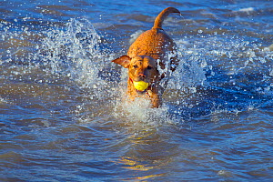 Yellow Labrador playing on a Norfolk beach, retrieving ball from sea, East Anglia, England, UK, December. - Ernie  Janes