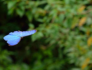 Anaxibia Morpho butterfly (Morpho anaxibia) flying over the Atlantic Rainforest, Itatiaia National Park, Itatiaia, Rio de Janeiro State, Southeastern Brazil - Luiz Claudio Marigo