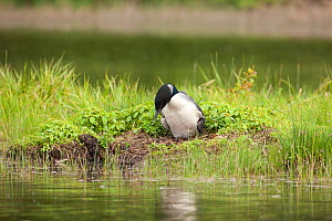 Common loon (Gavia immer) lowering itself onto eggs in nest, Allequash Lake, Northern Highland State Forest, Wisconsin, June.  -  Thomas Lazar