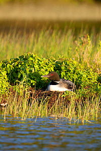 Common loon (Gavia immer) on nest incubating eggs, Allequash Lake, Northern Highland State Forest, Wisconsin, June. - Thomas Lazar