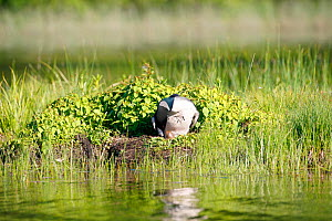 Common loon (Gavia immer) turning eggs in nest, Allequash Lake, Northern Highland State Forest, Wisconsin, June. - Thomas Lazar