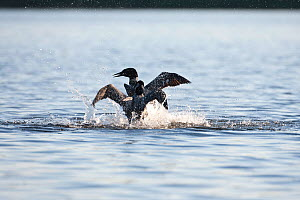 Common loons (Gavia immer) fighting over teritory dispute, one protecting nest from intruder. Allequash Lake, Northern Highland State Forest, Wisconsin, June. - Thomas Lazar
