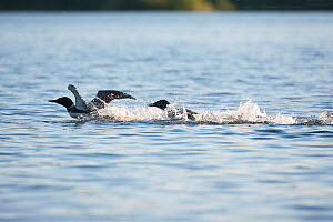 Common loons (Gavia immer) fighting over teritory dispute, one chasing the other, Allequash Lake, Northern Highland State Forest, Wisconsin, June. - Thomas Lazar
