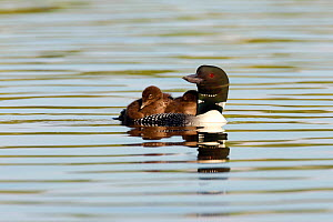 Common loon (Gavia immer) adult swimming with two chicks on back, Allequash Lake, Northern Highland State Forest, Wisconsin, July. - Thomas Lazar