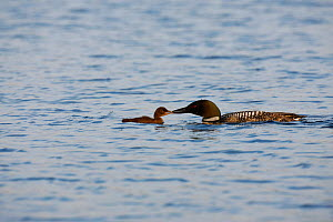 Common loon (Gavia immer) feeding young chick small fish, Allequash Lake, Northern Highland State Forest, Wisconsin, July. - Thomas Lazar