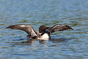 Common loon (Gavia immer) 'Wing Flap' display as part of preening behaviour, Allequash Lake, Northern Highland State Forest, Wisconsin, July. - Thomas Lazar