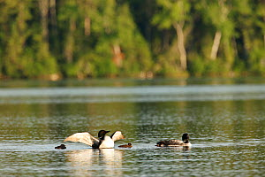Common loon (Gavia immer) pair with chicks, Allequash Lake, Northern Highland State Forest, Wisconsin, July. - Thomas Lazar