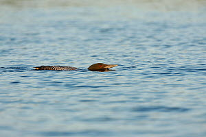 Common loon (Gavia immer) crouched swimming low in water (territory/alarm display). Allequash Lake, Northern Highland State Forest, Wisconsin, July. - Thomas Lazar