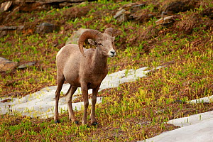 Bighorn sheep (Ovis canadensis) on alpine slope, Glacier National Park, Montana, Rocky Mountains, July. - Thomas Lazar