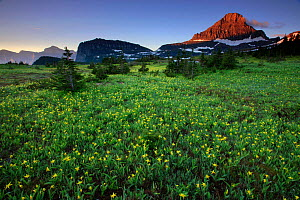 Alpine meadow filled with yellow glacier lillies, peak of Mount Reynolds in distance. Logan Pass, Glacier National Park, Rocky Mountains, Montana, July 2010. - Thomas Lazar