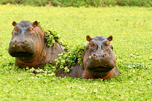 RF- Hippopotamuses (Hippopotamus amphibius) in water lettuces, Masai Mara Game Reserve, Kenya. (This image may be licensed either as rights managed or royalty free.) - Denis-Huot