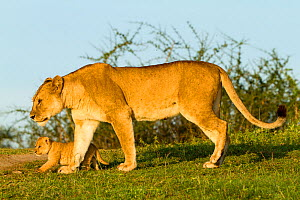 RF- Lion (Panthera leo) mother walking with cub, Masai Mara Game Reserve, Kenya (This image may be licensed either as rights managed or royalty free.)  -  Denis-Huot