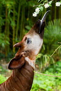 Okapi (Okapia johnstoni) feeding, with tongue exteneded. Captive at zoo. Occurs in Ituri Rainforest, Democratic Republic of the Congo. - Denis-Huot
