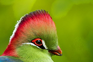 Red-crested Turaco (Tauraco erythrolophus) captive at zoo. Endemic to western Angola.  -  Denis-Huot