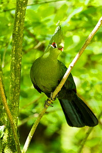 Livingstone's Turaco (Tauraco livingstonii) captive at zoo. Occurs in  southeastern Africa.  -  Denis-Huot