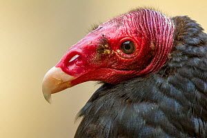Turkey Vulture (Cathartes aura) portrait at zoo. Captive, occurs in North America. - Denis-Huot