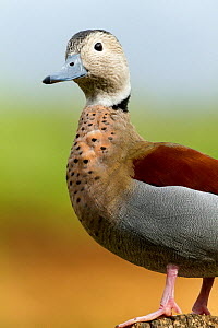 Ringed Teal (Callonetta leucophrys) portrait, captive at zoo. Occurs in South America.  -  Denis-Huot