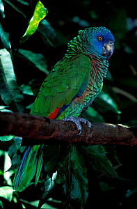 St Lucia amazon (Amazona versicolor) captive, vulnerable species, endemic to St. Lucia.  -  Roland  Seitre