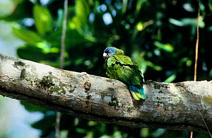 St Lucia amazon (Amazona versicolor) on branch, St. Lucia. Vulnerable species, endemic.  -  Roland  Seitre