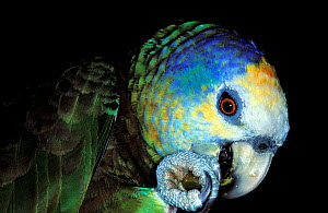 St Vincent amazon (Amazona guildingii) brown phase. Captive, endemic to St. Vincent. Vulnerable species.  -  Roland  Seitre