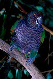 Imperial amazon (Amazona imperialis) captive, endemic to Dominica. Endangered species.  -  Roland  Seitre