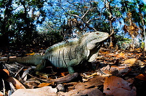 Turks and Caicos rock iguana (Cyclura carinata) endemic to the Turks and Caicos islands, Critically endangered species.  -  Roland  Seitre