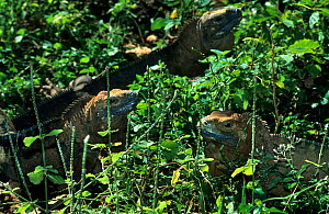 Jamaican iguanas (Cyclura collei) captive at Kingston Zoo breeding program. Endemic to Jamaica. Critically endangered species.  -  Roland  Seitre
