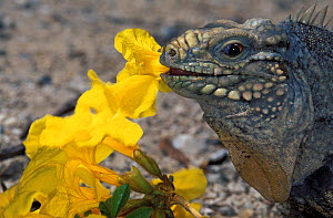 Cuban Ground Iguana (Cyclura nubila) feeding on flowers, introduce species, Puerto Rico. Vulnerable species.  -  Roland  Seitre
