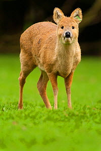 Chinese water deer (Hydropotes inermis) captive, native to China and Korea. - Roland  Seitre