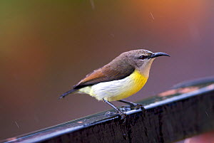 Female Purple-rumped sunbird (Nectarinia zeylonica) in rain on the balcony of a hotel. Western Ghats, India.  -  Bert  Willaert