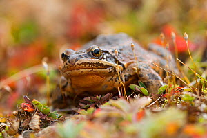 Caucasian Brown frog (Rana macrocnemis / holtzi) high Pontus mountains. Turkey. October.  -  Bert  Willaert
