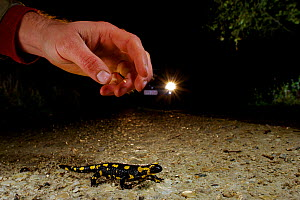 Man about to pick up a Fire Salamander (Salamandra salamandra) that is crossing the road with a car approaching, France. November. - Bert  Willaert