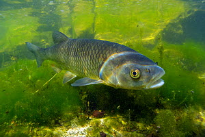 European chub (Squalius cephalus) with algae, Grundlsee lake, Austria, July.  -  Bert  Willaert