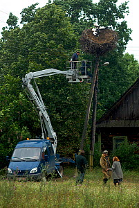 Cherry picker removing a White stork (Ciconia ciconia) nest with juveniles from electricity wires, Belarus, July 2007.  -  Bert  Willaert