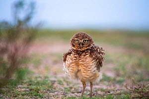Burrowing Owl (Athene cunicularia) portrait with feathers fluffed up, Hato El Cedral. Llanos. Venezuela. - Christophe Courteau