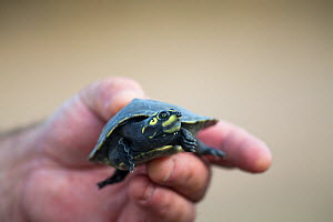 Giant South American turtle (Podocnemis expansa) baby held in human hand. Adults are the largest river turtle in South America. Captive babies in a Breeding and Re-introduction Center , at Hato El Ced...  -  Christophe Courteau
