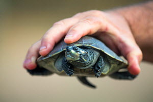 Giant South American turtle (Podocnemis expansa) baby held in human hand. Captive  in a Breeding and Re-introduction Center , at Hato El Cedral. Llanos. Venezuela.  -  Christophe Courteau