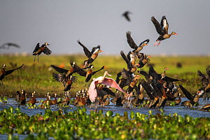 Mixed flock of White-faced Whistling Duck (Dendrocygna viduata), Black-bellied Whistling-duck (Dendrocygna autumnalis) and Roseate Spoonbill (Ajaia ajaia) taking off the shallow water of Hato El Cedra...  -  Christophe Courteau
