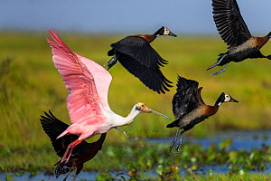 Roseate Spoonbill (Ajaia ajaia) and White-faced Whistling Duck (Dendrocygna viduata) taking off the shallow water of Hato El Cedral, Llanos, Venezuela.  -  Christophe Courteau