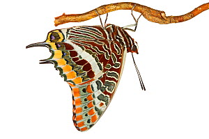 Two-tailed Pasha (Charaxes jasius) hanging from branch, Italy, March. meetyourneighbours.net project  -  MYN / ACREMAR